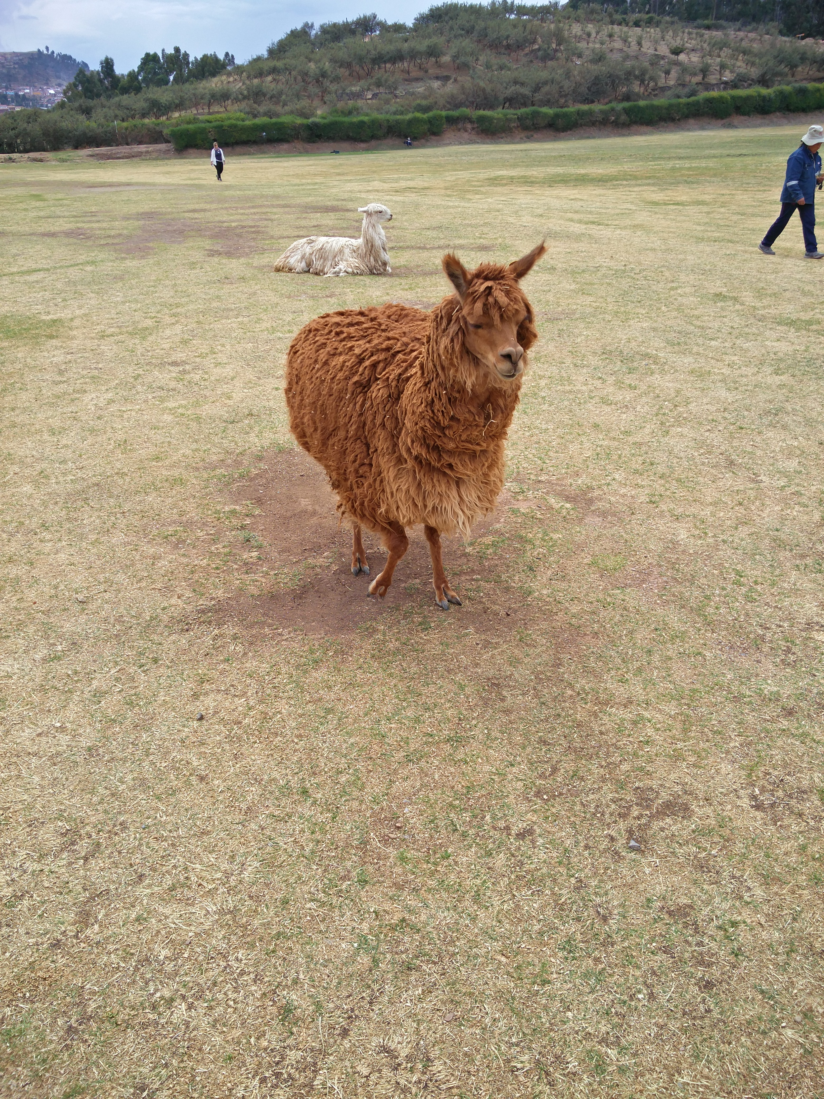 141_alpaca