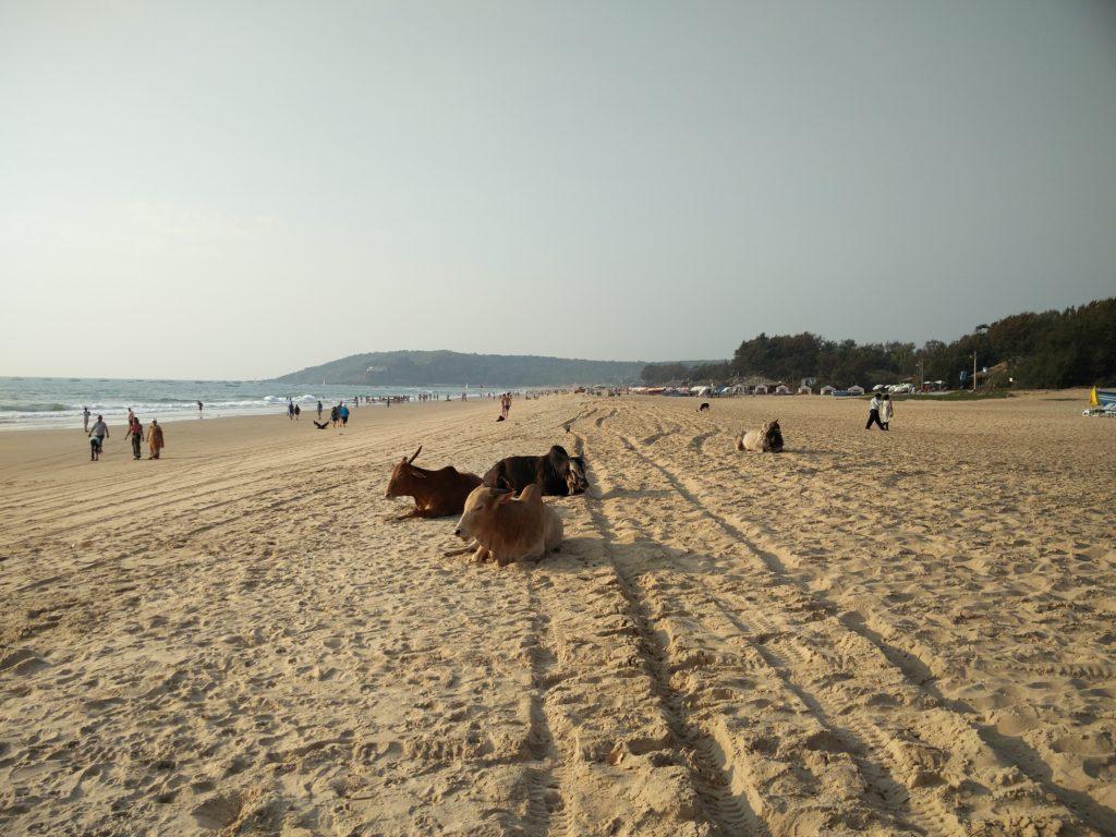 70_beach_cows