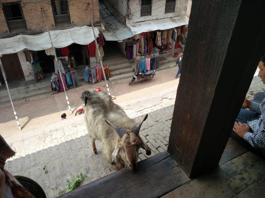 16_temple_goat