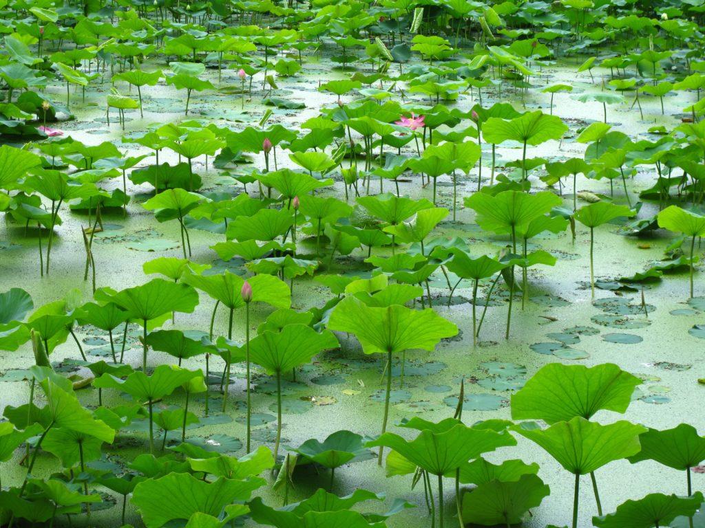 10_lotus_flowers