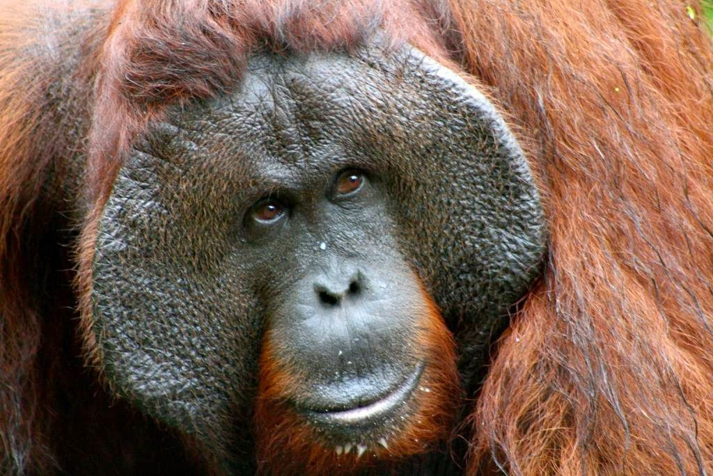 orangutan-flange-flanged-male-11-arkinspace